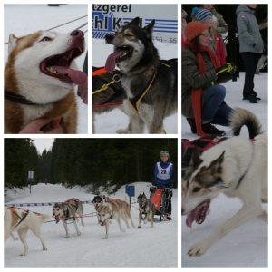 Huskyrennen